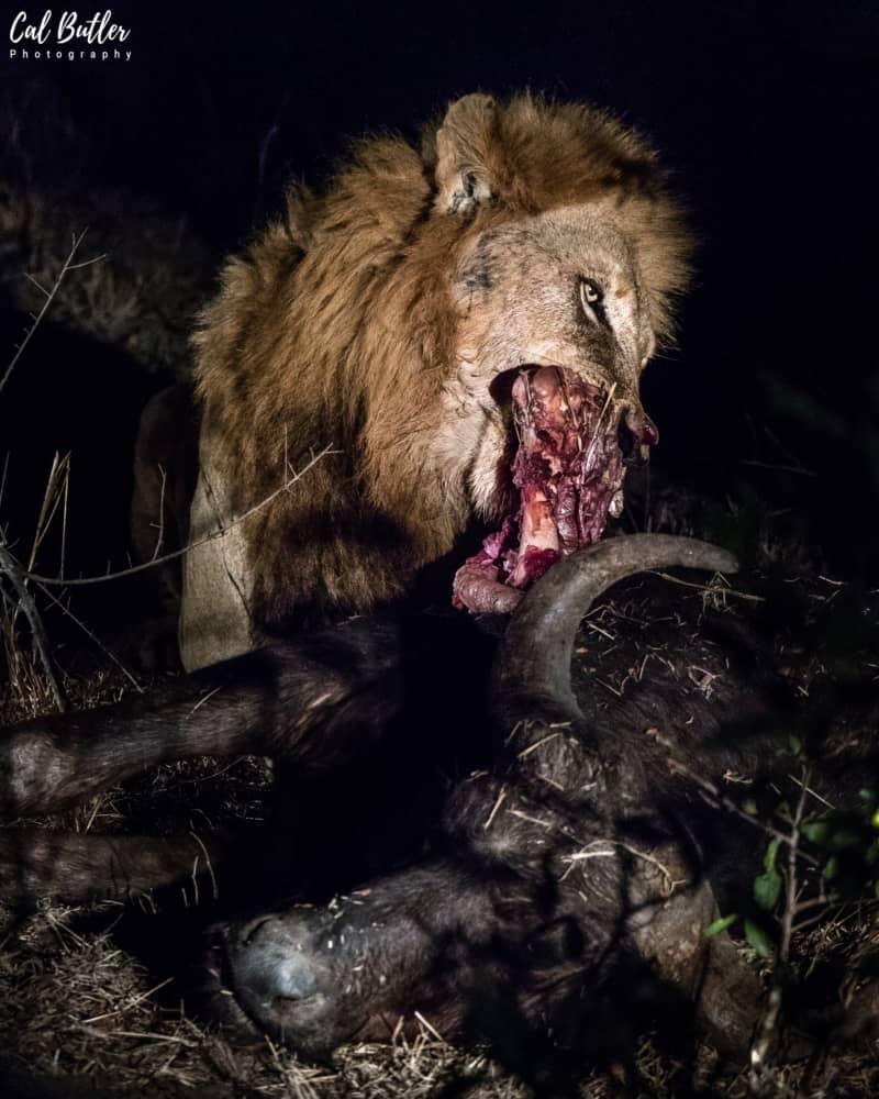 Matimba Male Lions